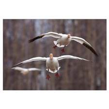 Three Snow Geese In Flight In The Matanuska Valley