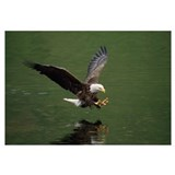 Bald Eagle In Flight Catching Fish, Aleutian Islan