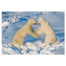 Polar Bears Wrestling And Play Fighting At Churchi