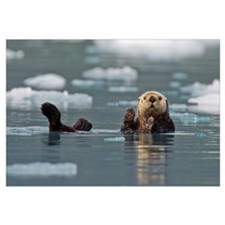 Sea Otter Swims On Its Back, Prince William Sound,