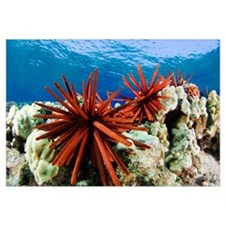 Hawaii, Slate Pencil Urchin, (Heterocentrotus Mamm