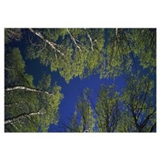 Low angle view of Aspen trees, Californian Sierra