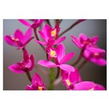 Hawaii, Maui, Close-Up Of Purple Epidendrum Orchid
