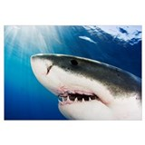 Mexico, Great White Shark (Carcharodon Carcharias)