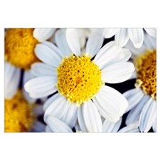 Summer Daisy (Anthemis Punctata), Close-Up Of Whit