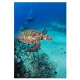 Hawaii, An Endangered Species, Green Sea Turtles (