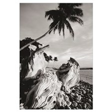 Hawaii, Maui, Olowalu, Palm Tree And Driftwood In