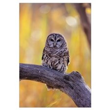North America, Dark-Eyed Barred Owl Perched On A C