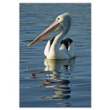 Australia, Pelican Swimming On Calm Water
