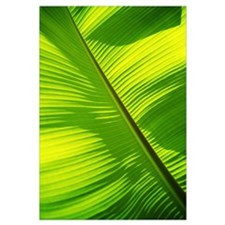 Close-Up Of Bright Green Banana Leaf