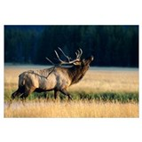 Wyoming, Yellowstone National Park, Elk Bull (Cerv