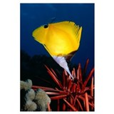 Hawaii, Long Nose Butterfly Fish (Forcipiger Sp) O