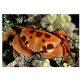 Hawaii, Seven-Eleven Crab (Carpilius Maculatus) On