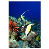 Hawaiian Reef Scene, Moorish Idol, Slate Pencil Se