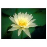 One White Lily Blossom In Pond