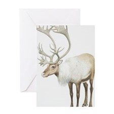 Rangifer tarandus, Reindeer. Greeting Card