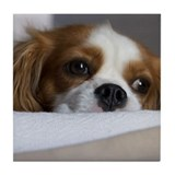 Cute Cavalier king charles spaniel Tile Coaster
