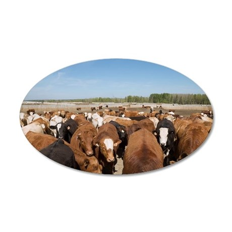 Herd of cows 35x21 Oval Wall Decal