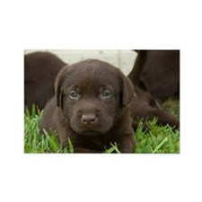 Chocolate Lab puppy laying in the Rectangle Magnet
