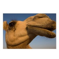 close view of camel's hea Postcards (Package of 8)