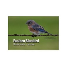 Female Bluebird Magnet (100 pack)