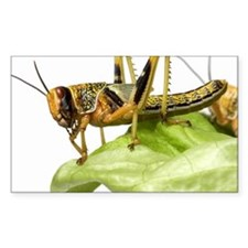 Locust (Acrididae family) on l Decal