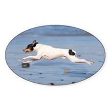 Rat terrier dog running on be Decal