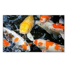 Koi fish, close-up, overhead v Decal