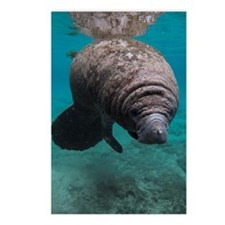 Manatee Crystal River Postcards (Package of 8)