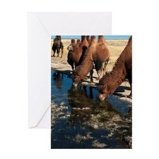 Two humped Bactrian camels in Gobi D Greeting Card