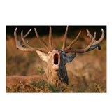 Red deer stag roaring Postcards (Package of 8)