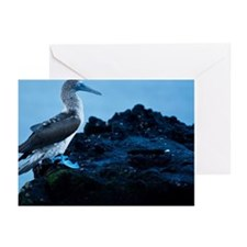 Blue footed booby at sun Greeting Cards (Pk of 20)