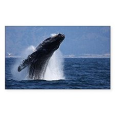 Humpback whale breach at Decal