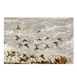 Purple Sandpiper birds on Postcards (Package of 8)
