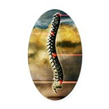 The human spine Oval Car Magnet
