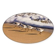 Sanderlings running from the surf a Decal