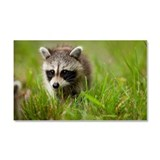 Raccoon, Assateague Island, Mar Car Magnet 20 x 12