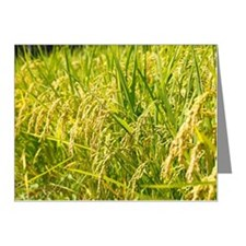 Rice Crop Note Cards (Pk of 10)