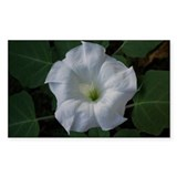 Large white datura bloss Decal