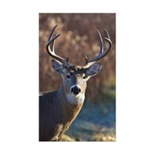 Whitetail Deer buck Decal
