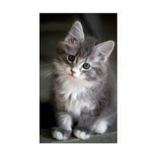 8 week old Maine Coon Kitten p Decal