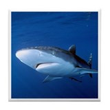 Silky shark Tile Coaster