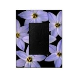Blue eyed grass (Sisyrinchium bermud Picture Frame