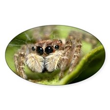 Jumping spider showing their  Decal