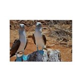 Blue-footed Boobies (Sula nebouxi Rectangle Magnet