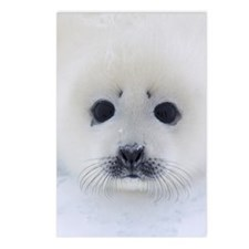 Harp Seal pup on ice Postcards (Package of 8)