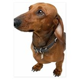 Close up of a dachshund 3.5 x 5 Flat Cards