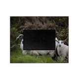 Scottish Blackface Sheep, Islay isla Picture Frame