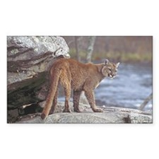 Cougar on rocks Decal