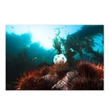 Giant red sea urchins, pl Postcards (Package of 8)